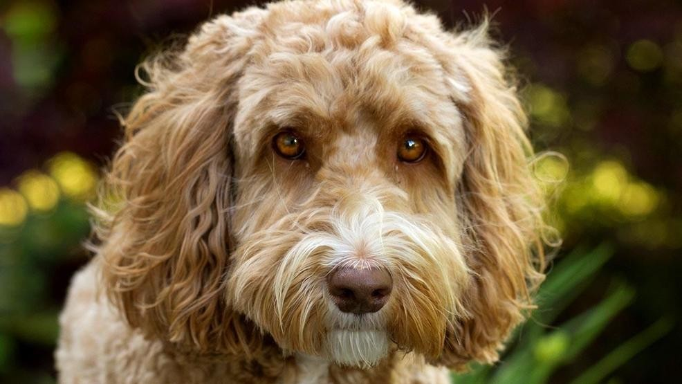 Man Who Bred First Labradoodle Says He Created A