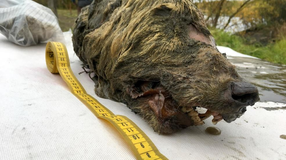 f6447ed8492cf Perfectly preserved head of Ice Age wolf found in Siberia | KUTV