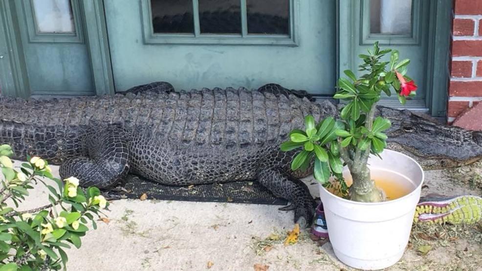 Photo: Huge alligator naps on porch in Louisiana | KUTV