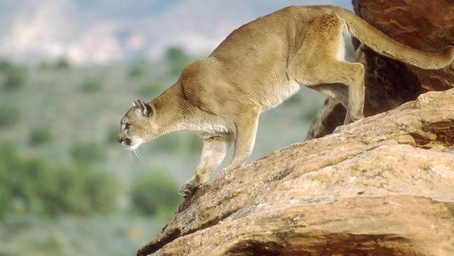 cougars in your area