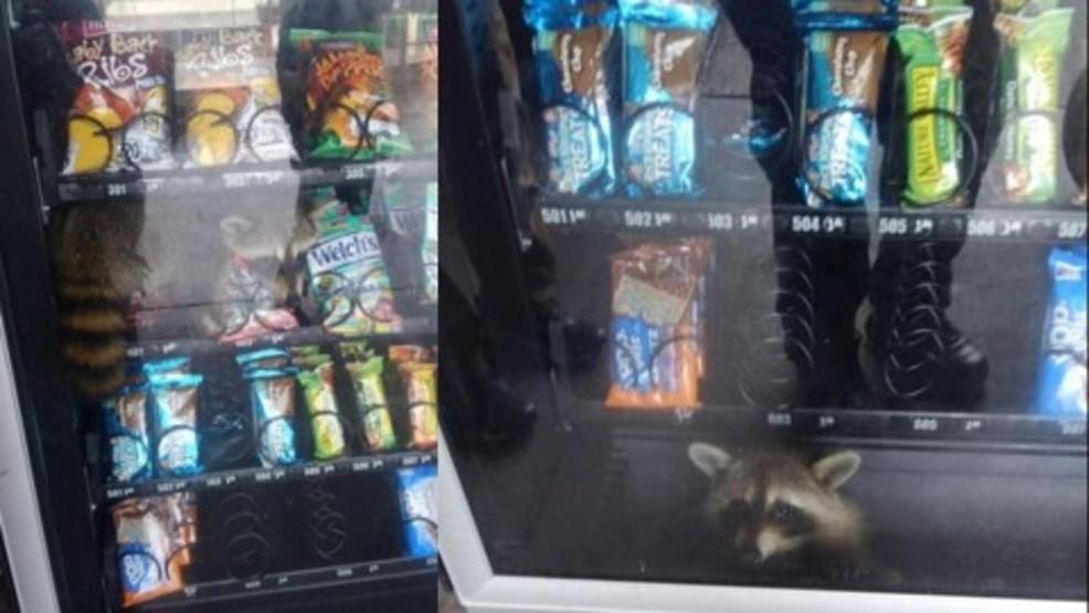 WATCH: Raccoon burglar gets stuck in school vending machine